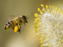 what-is-bee-pollen
