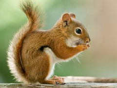 Red_Squirrel_Big25308